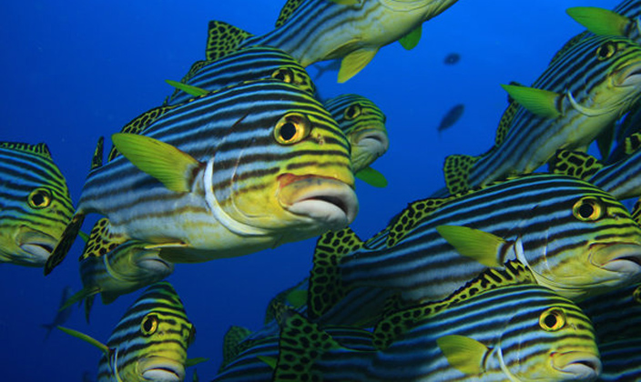 oriental -sweetlips-fish.jpg