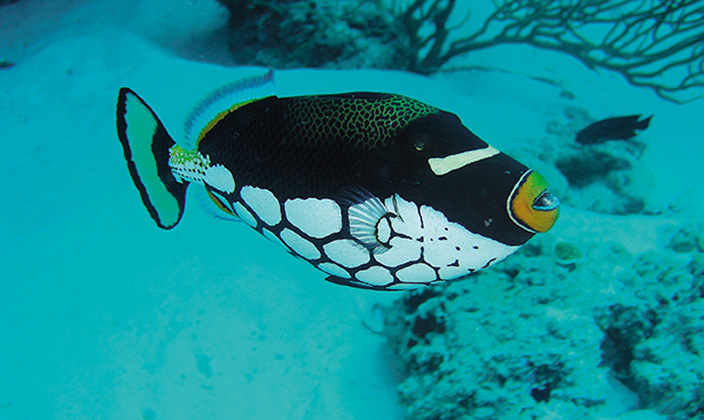 moofushi-maldives-diving-trigger-fish-1.jpg